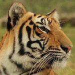 Ajanta the tiger