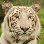 Bagheera the tiger