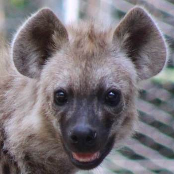 Bere the hyena