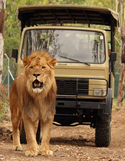 Lion walking down path on Big Cat Drive Thru
