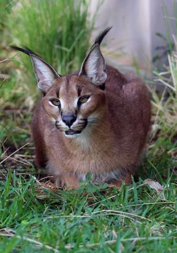 Caracal crouching in grass