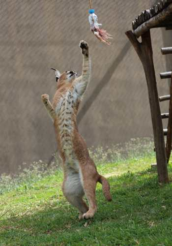 Caracal playing