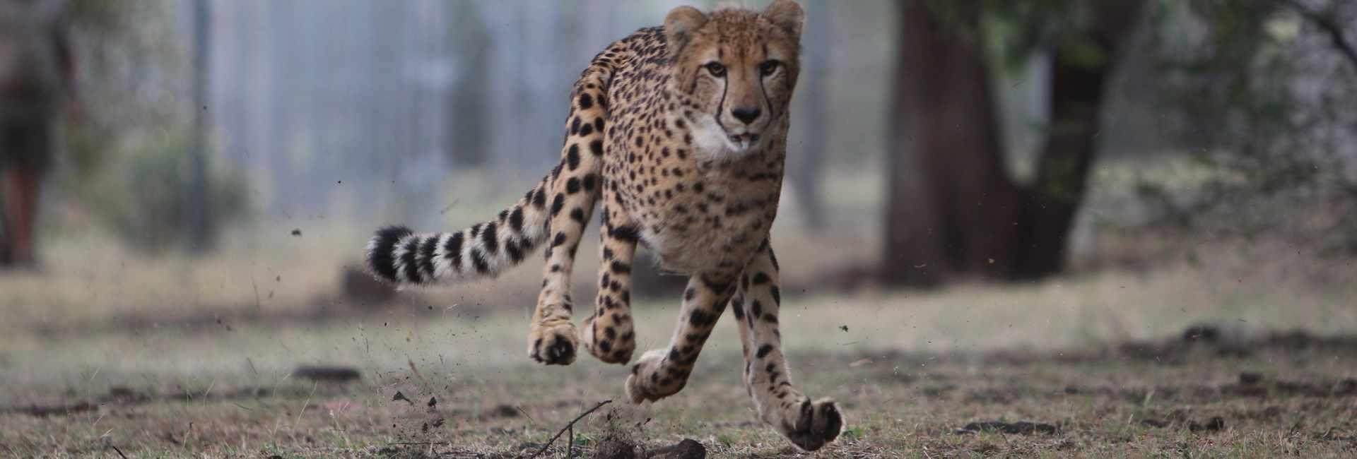 cheetahs  the world u0026 39 s fastest land animal
