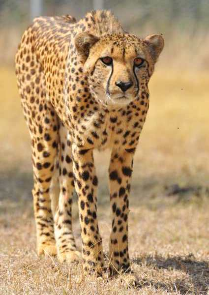 Cheetah stalking