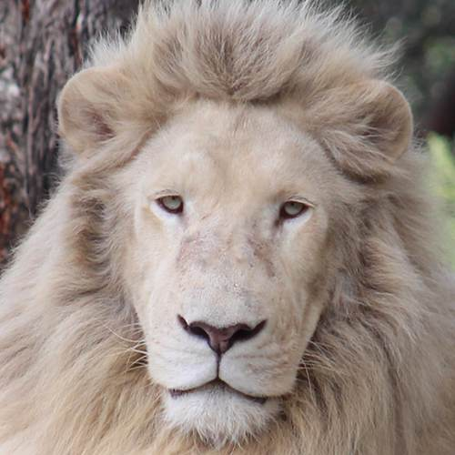 Douga the white lion