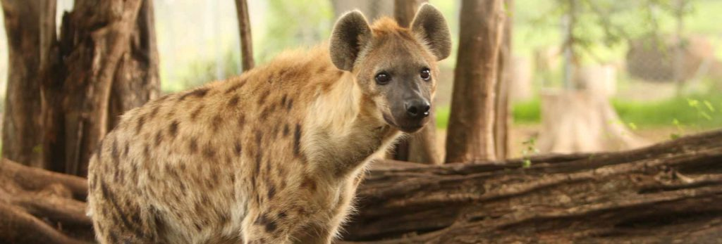 Mukulu the Hyena