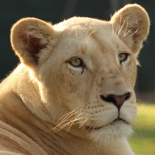 Jelani the white lioness