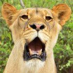 Kulala the lion