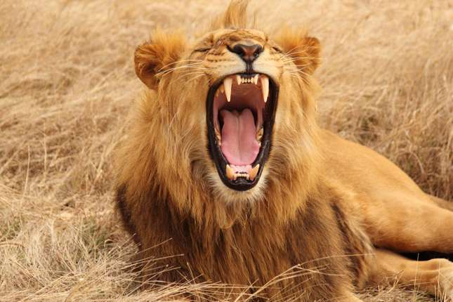 Lion with open jaws