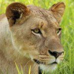 Lundi the lion