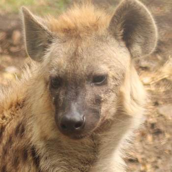 Makulu the hyena