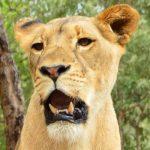 Matala the lion