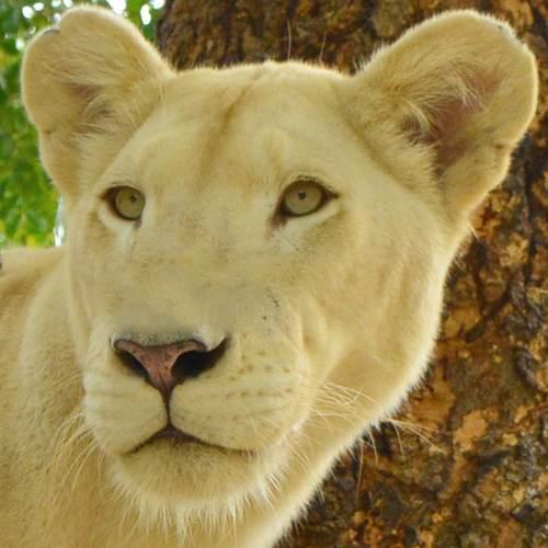 Matata the white lioness