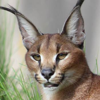 Mopane the caracal