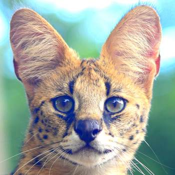 Tamba the serval