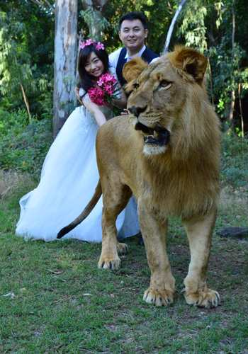 Wedding photo with lion