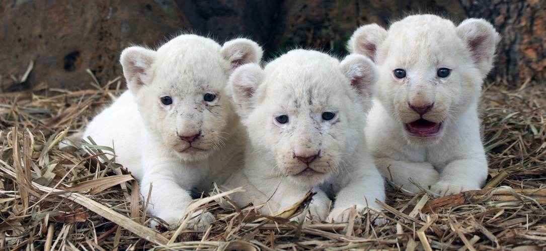 Mufasa, Makali and Timbavati the white lion cubs