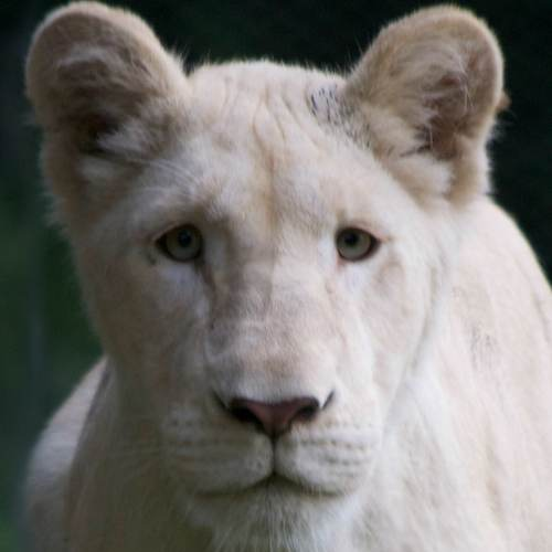 Makali the white lioness