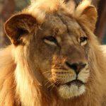 Zimbo the lion