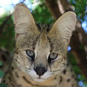 Zulu the serval