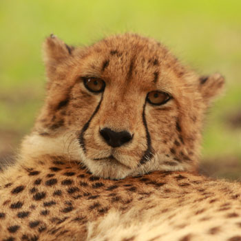 Mara the cheetah