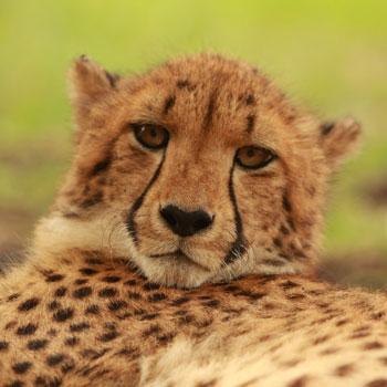 Mara the cheetah