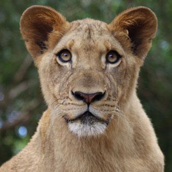 Lions- Imani