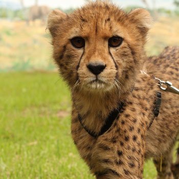 masai the cheetah cub