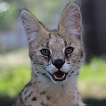 Selous Serval