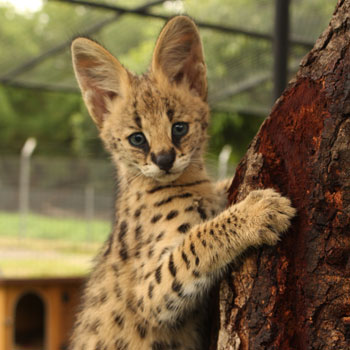 Toto serval in mauritius