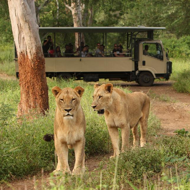 Lioness & Truck