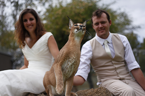 wedding caracal